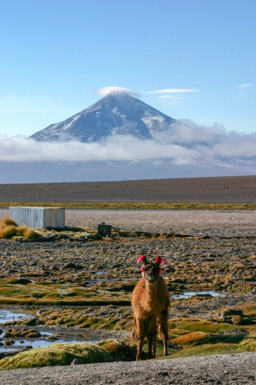 Bolivia - fauna local